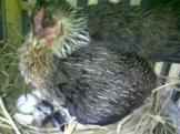 Ayam Ketawa Cipta Cilacap (2)