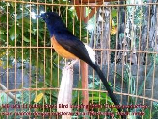 Murai batu produk Black Bird Keeping Cilacap