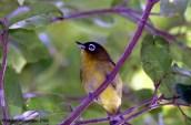 Burung Pleci atau Kacamata Arfak, Zosterops fuscicapilla – sebelumnya fuscicapillus
