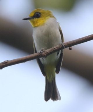 Burung pleci atau Kacamata Makasar, -Zosterops anomalus