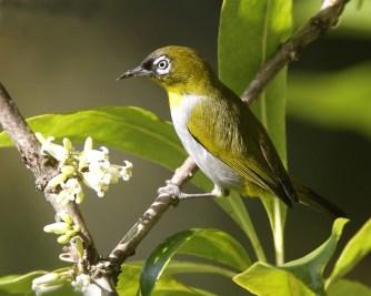 Burung pleci atau Kacamata Tagula, Zosterops meeki