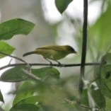 Burung Pleci atau Kacamata Tual - Zosterops uropygialis