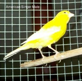 Wallpaper, gambar, foto, lukisan burung kenari (picture, painting and photo canary) (10)