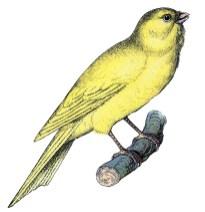 Wallpaper, gambar, foto, lukisan burung kenari (picture, painting and photo canary) (13)