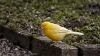 Wallpaper, gambar, foto, lukisan burung kenari (picture, painting and photo canary) (14)