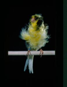 Wallpaper, gambar, foto, lukisan burung kenari (picture, painting and photo canary) (18)