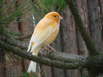 Wallpaper, gambar, foto, lukisan burung kenari (picture, painting and photo canary) (20)
