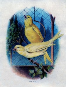 Wallpaper, gambar, foto, lukisan burung kenari (picture, painting and photo canary) (24)