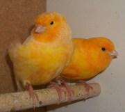 Wallpaper, gambar, foto, lukisan burung kenari (picture, painting and photo canary) (42)