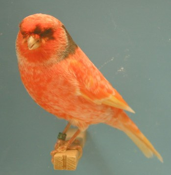 Wallpaper, gambar, foto, lukisan burung kenari (picture, painting and photo canary) (47)