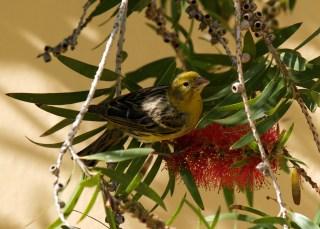 Wallpaper, gambar, foto, lukisan burung kenari (picture, painting and photo canary) (5)