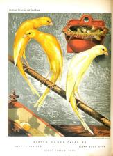 Wallpaper, gambar, foto, lukisan burung kenari (picture, painting and photo canary) (7)