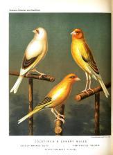 Wallpaper, gambar, foto, lukisan burung kenari (picture, painting and photo canary) (8)