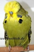 Gambar Burung Parkit 2