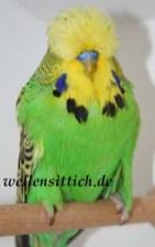 Gambar Burung Parkit 3