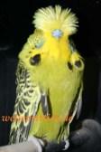 Gambar Burung Parkit 6