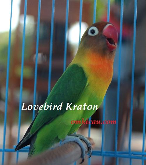 LOVE BIRD KRATON - BANDROLNYA 35 JUTA