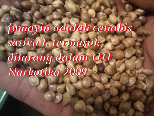 biji fumayin atau hemp seed adalah genus canabis