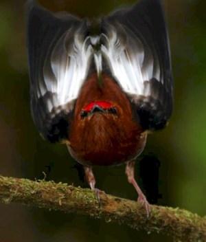 Burung manakin jantan berkicau dengan menggetarkan sayap (4)
