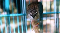 Burung ciblek gunung Imoet CPT-12