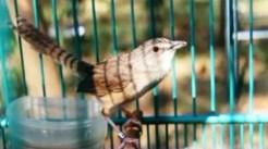 Burung ciblek gunung Imoet CPT-14