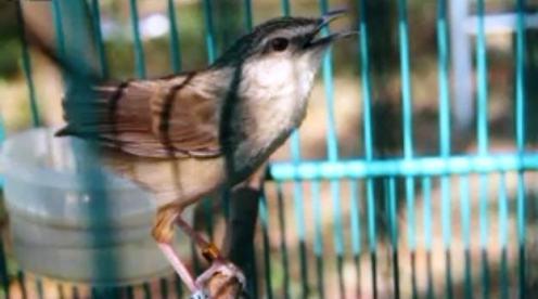 Burung ciblek gunung Imoet CPT-15
