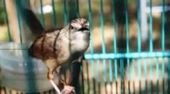 Burung ciblek gunung Imoet CPT-5