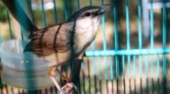 Burung ciblek gunung Imoet CPT-8