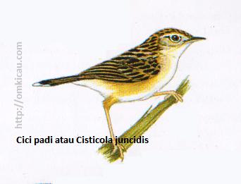 Cici padi atau Cisticola juncidis - Lebih coklat daripada Cici merah, tubuh bawah lebih pucat, ujung ekor putih.