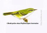 Cikrak polos atau Phylloscopus inornatus - Dua garis sayap dan alis pucat. Kadang-kadang mempunyai setrip mahkota pucat