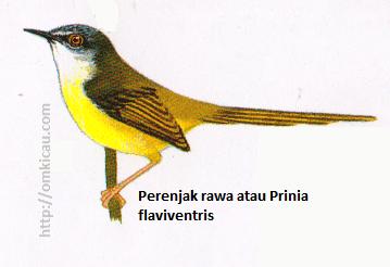 Perenjak rawa atau Prinia flaviventris - Kepala abu-abu, alis pendek pucat, tenggorokan putih, perut kuning, tidak ada garis di sayap.