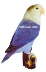 26 agapornis fischeri lovebird-cobalt blue-biru cobalt