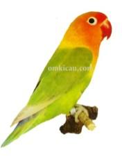 27 agapornis fischeri lovebird-pastel green-hijau pastel