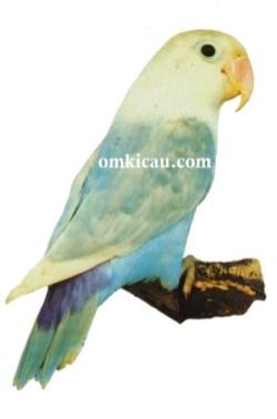 29 agapornis fischeri lovebird-pastel blue-biru pastel