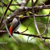 Burung cabean atau cabai jawa - dicaeum trochileum - betina foto Adhy Maruly2