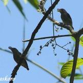 Burung cabean atau cabai jawa - dicaeum trochileum - betina foto Baskoro