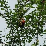 Burung cabean atau cabai jawa - dicaeum trochileum - jantan di sarang foto Baskoro