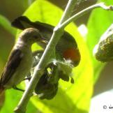 Burung cabean atau cabai jawa - dicaeum trochileum - pasangan foto ImamT