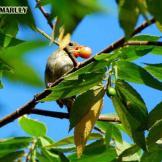 Burung cabean atau cabai jawa - dicaeum trochileum - remaja betina foto Adhy Maruly