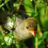 Burung cabean atau cabai jawa - dicaeum trochileum - remaja foto Swiss Winnasis
