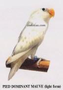 burung lovebird pied dominant mauve - light form