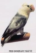 burung lovebird pied dominant mauve