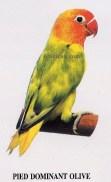 burung lovebird pied dominant olive
