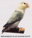 burung lovebird pied dominant slaty spangle mauve