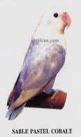 burung lovebird sable pastel cobalt