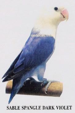 burung lovebird sable spangle dark violet