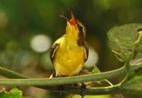 Burung sogok ontong alias burung madu sriganti (11)