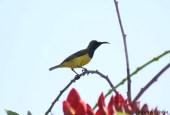 Burung sogok ontong alias burung madu sriganti (3)