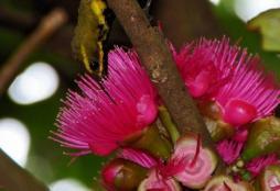 Burung sogok ontong alias burung madu sriganti (5)