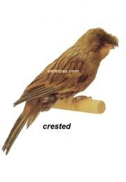 Burung kenari crested